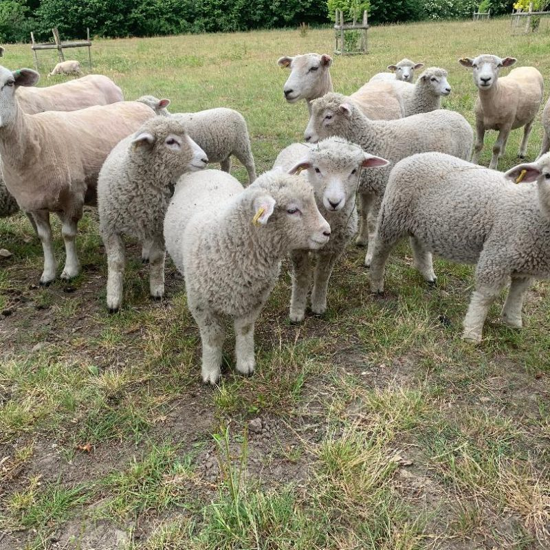 Lucie's Lambs