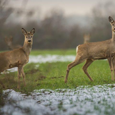 Oh Deer…Venision for tea!