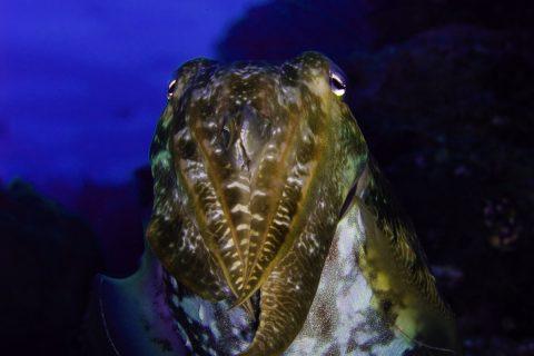 Cuttlefish 1, Buoy 5, Wakatobi, 24/03/2008