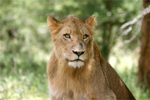South Africa – Lions won't let us sleep tonight