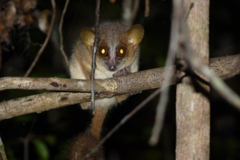 Madagascar – Nocturnal Lemurs, What big eyes you have