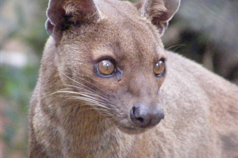 Madagascar – Spatial Ecology and the Fossa