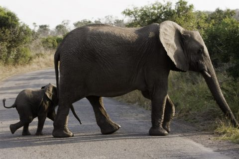 African Elephants (Loxodonta africana) Crossing the Road