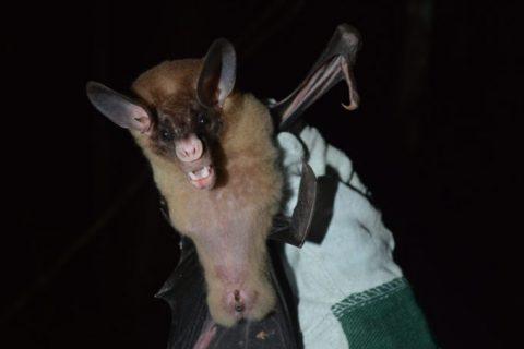Mexico – False Vampire bats aren't a pain in the neck