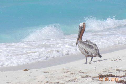 resting-pelican-mexico-xinhaowang