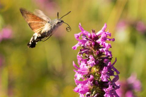 Hummingbird-Hawk-moth_Mesendorf-Ben-Porter-1024x837