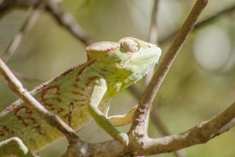 Alex-Tozer-Madagascar-chameleon1-1024x678