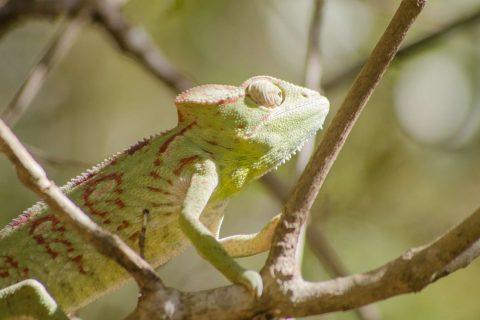 alex-tozer-madagascar-chameleon1