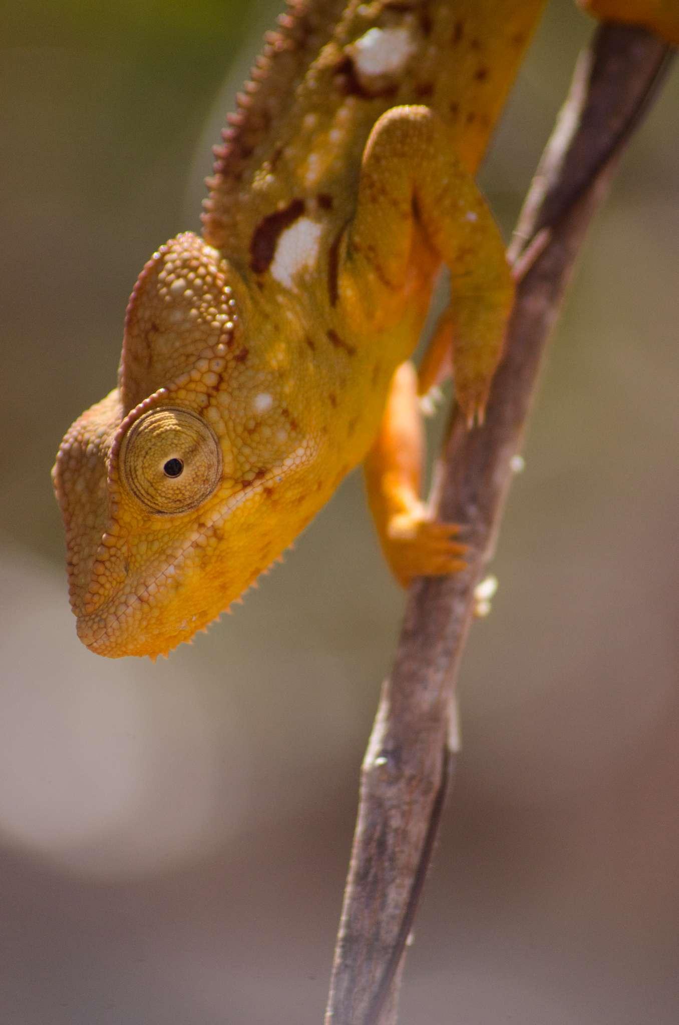 alex-tozer-madagascar-chameleon2