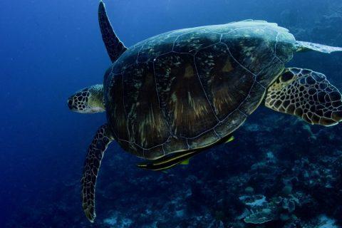 Green Turtle with Remora 3, Tolandona, Wakatobi, 19/08/2008