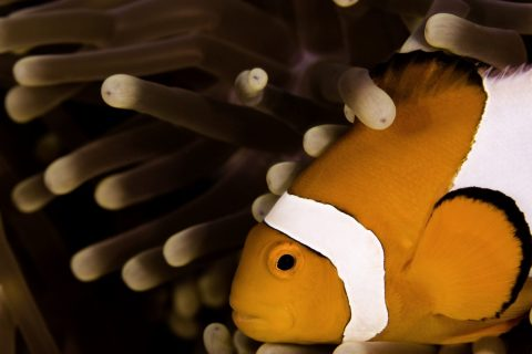 Anemonefish Coral Gardens 3
