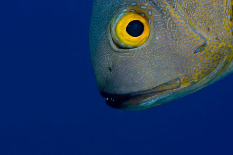 Midnight snapper face in the blue