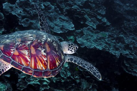 Loggerhead Turtle, Table Coral City, Wakatobi, 18/08/2008