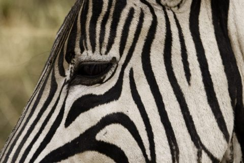Burchell's Zebra (Equus burchellii) Closeup