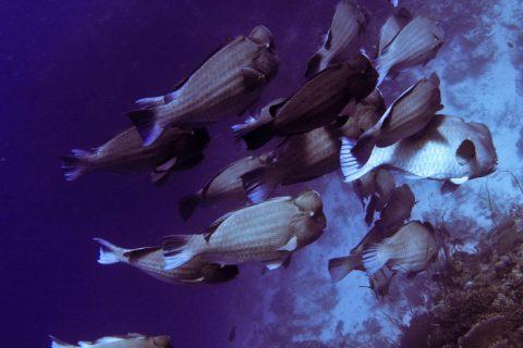 Rowley Bioeroding Bumphead parrotfish