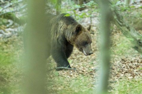 Transylvania – Bears, Bears, Bears!