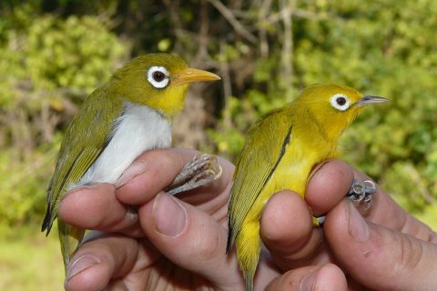 Finding new bird species in Sulawesi – retrospective on a PhD with Operation Wallacea Indonesia