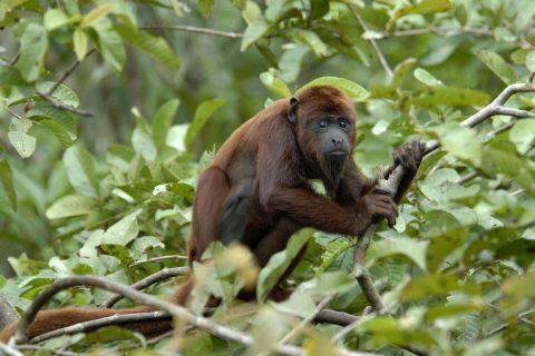 Red howler monkey Mark Bowler 1433