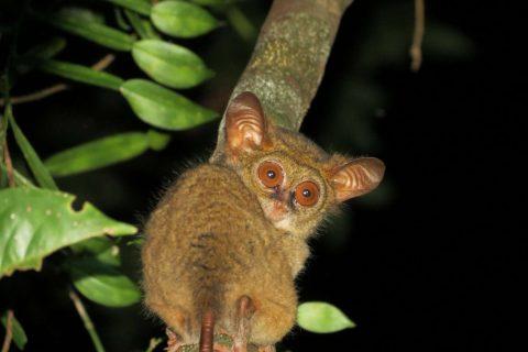 Tarsier spotting in the Indonesian jungle