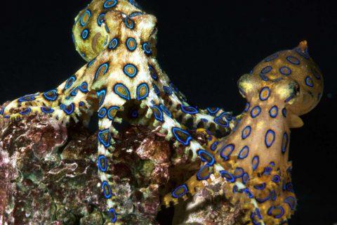 100c uni brochure bluering octopus