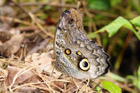 AS Caligo Butterfly