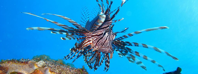 Opwall-LectureSeries1 (lionfish)