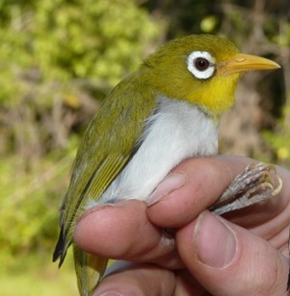 A Wangi-wangi White-eye bird in the hand. They are a small, bright green bird with a white underneath and a white ring around their eye. This species recently described by Opwall teams in the Wallacea region on Indonesia.