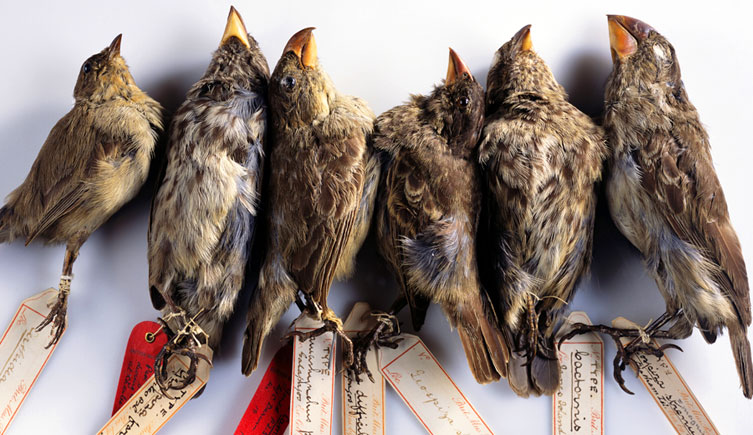 Image of type specimens of Galapagos finches collected my Charles Darwin, one of the fathers of modern ecology, during his exploratory voyages on the HMS Beagle. He developed the theory of evolution on these voyages.