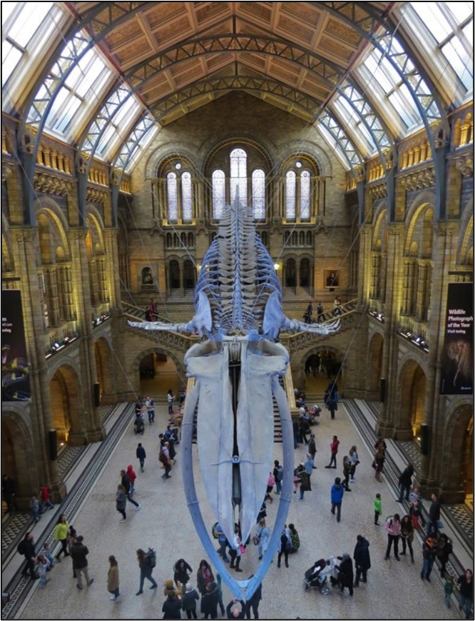The blue whale skeleton over the main hall of the Natural History Museum, London. The Natural History Museum in London – home to over 35 million biological specimens! Biological type specimens of different species are essential for describing new species. Specimens must be stored securely so that they exist for centuries for other taxonomists and taxonomy experts to reference when describing new species.