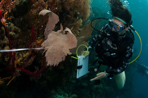 A scube diver volunteer on an expedition collecting marine ecology data underwater on a coral reef. They have a clipboard and a tape measure.