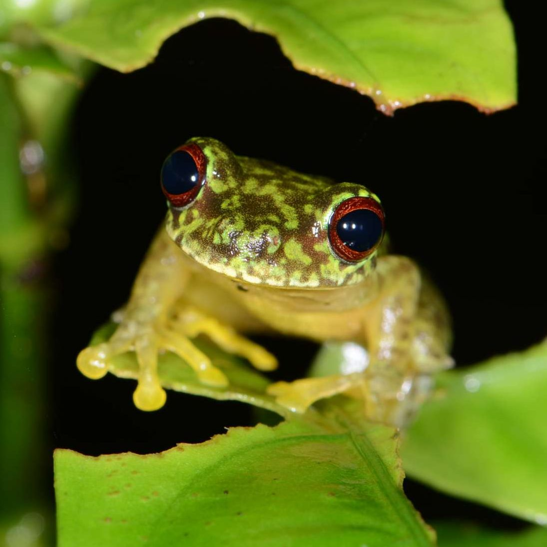 A frog in the cloud forests of Cusuco National Park, Honduras. The herpetofauna in the park is threatened by Chytrid fungus.