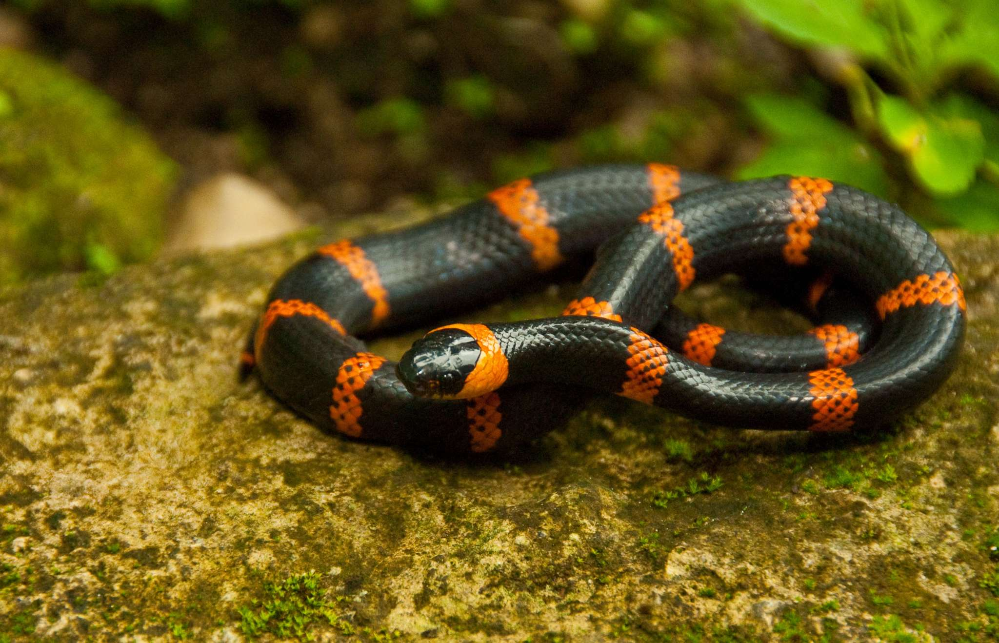 A snake in the rainforests of Calakmul Biosphere Reserve, Mexico. Wildlife in the reserve is greatly affected by climate change and droughts