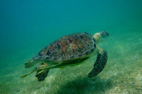 Science Snacks: Turtles in Akumal Bay, Mexico